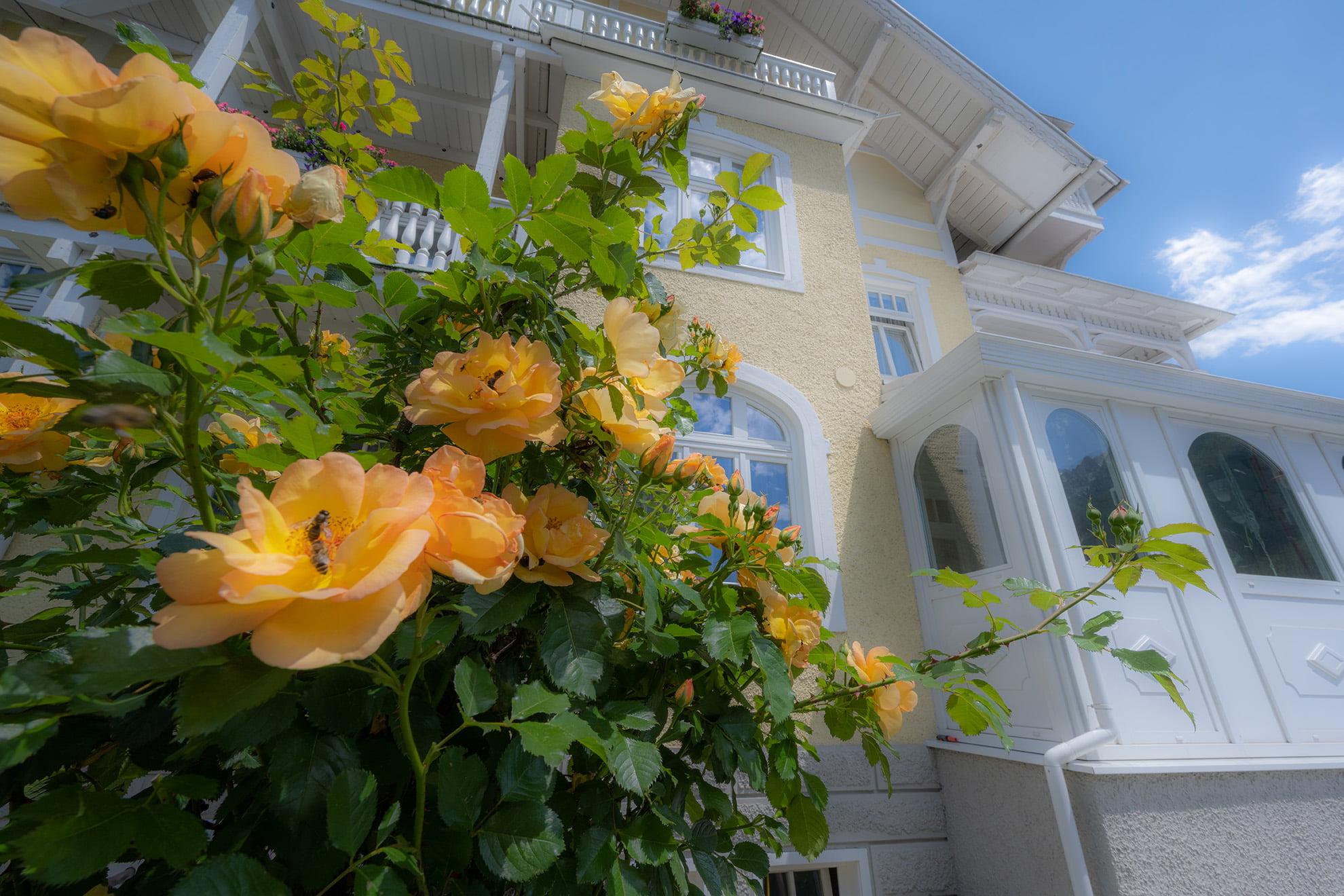Gelbe Rosen im Hotel Garni Hubertus Garten